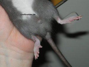 Rattenbock, 4 Wochen alt