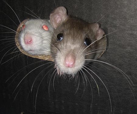 Ratten sind Rudeltiere – ratten.de
