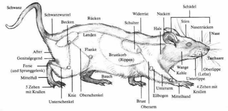 Anatomie der Ratte – ratten.de