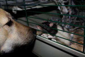 Ratte und Hund